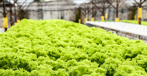 Hydroponic Vegetable Project in the Philippines